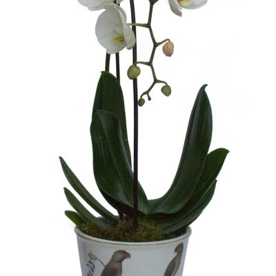 Parrot Planter Orchid smaller 30