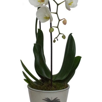 palm tree planter and orchid whit bg