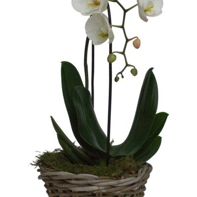 Wicker Basket Orchid